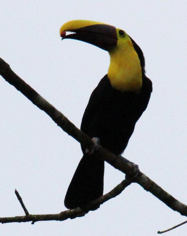 Toucan Eating a Cecropia Fruit