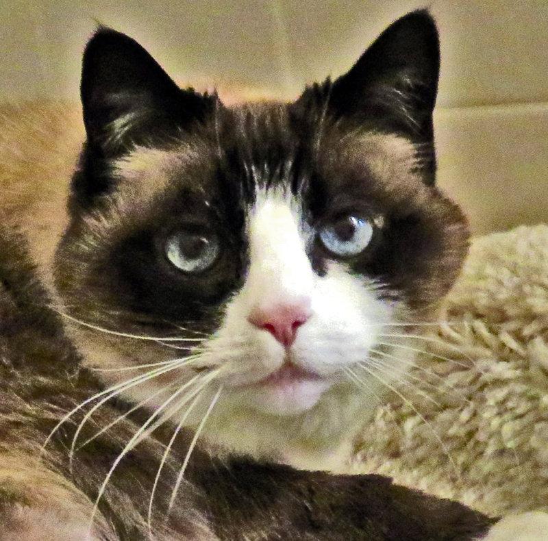 Lilicat Blue Eyes