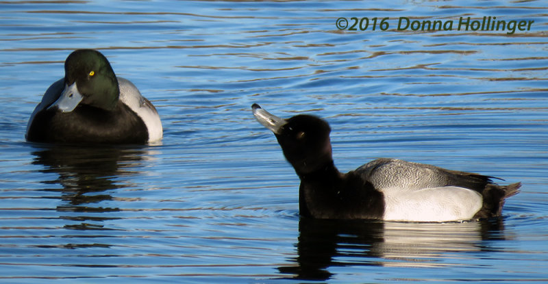 Lesser Scaup with a Greater Scaup