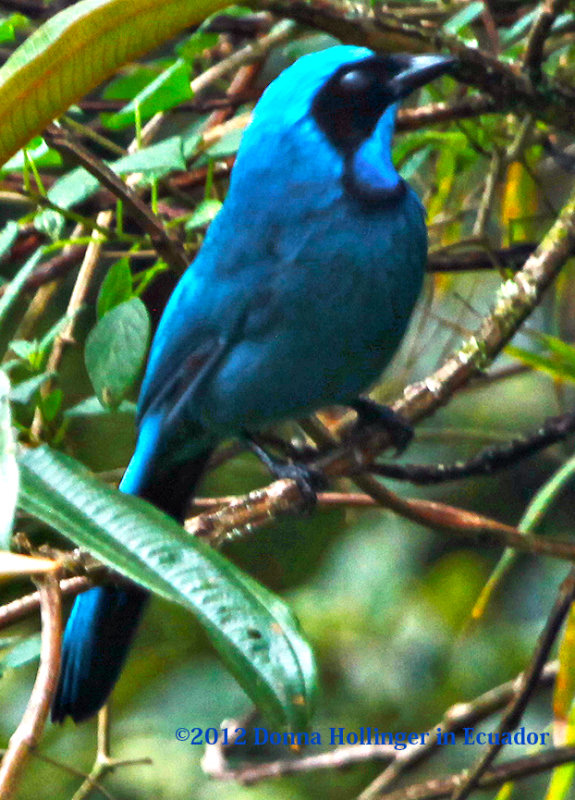 Black-Collared Jay Cyanolyca armillata