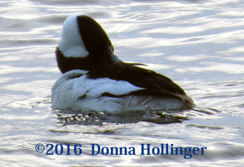 Bufflehead Moves