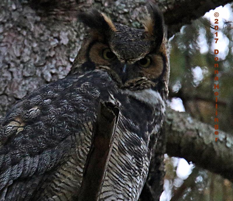 Great Horned Owl Female Awake