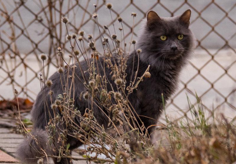 Gray Fluffball Kitty in my Yard!