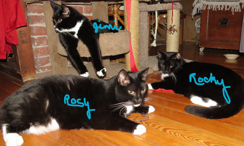 My Three Cats, Rosy, Rocky and Jimi at age 7