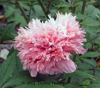 Anita's Pink Poppy in My Garden
