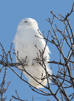 Snowy Owl in the Tree