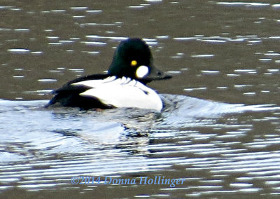 Bucephala clangula (Common Goldeneye)