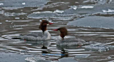 Two Female Mergansers at Sunset