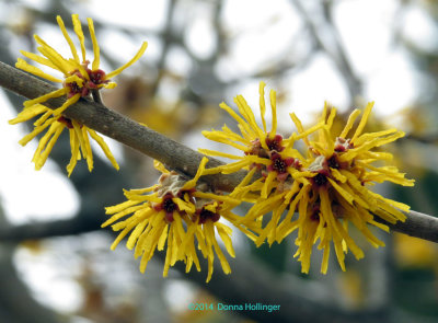 WitchHazel Blooms today