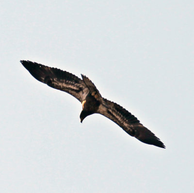 Immature Bald Eagle Flying Over Us