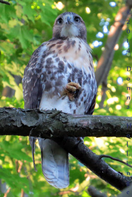 Mount Auburn Red Tailed Hawk, Immature