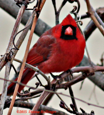 Male Cardinal Today