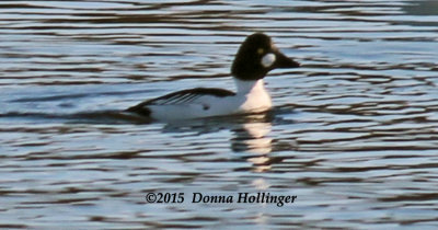 Bufflehead in Gloucester Harbor