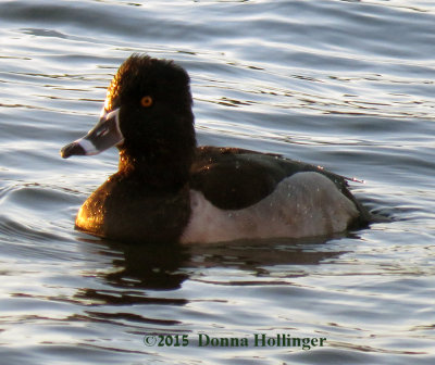 Ring Neck Duck Male