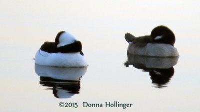 Bucephala on Fresh pond at dusk