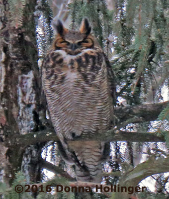 One of the Great Horned Owls at Mount Auburn this morning