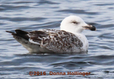 First Year Greater Black Backed Gull