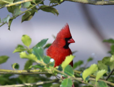 Male Cardinal in Holly