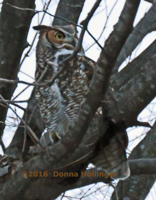 Great Horned Owl Female in a Deciduous Tree  Her Eyes open makes all the difference