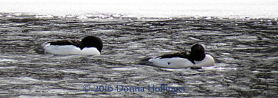 Two Common Mergansers in Icy Waters