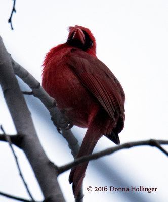 Cardinal in the wind