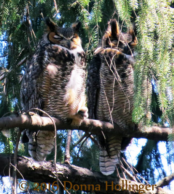 Male and Female Great Horned Owls