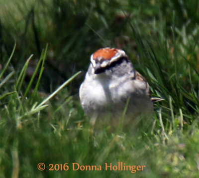 Chipping Sparrow in the grass