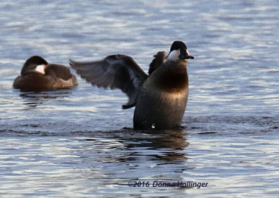 Two Ruddy Ducks, one Flapping