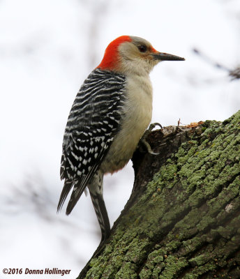 Red Beliied Woodpecker (male) This Morning