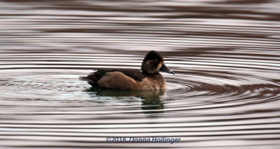 Immature Ring-necked Duck