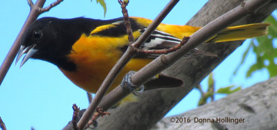 Male Oriole At Fresh Pond in May 2016