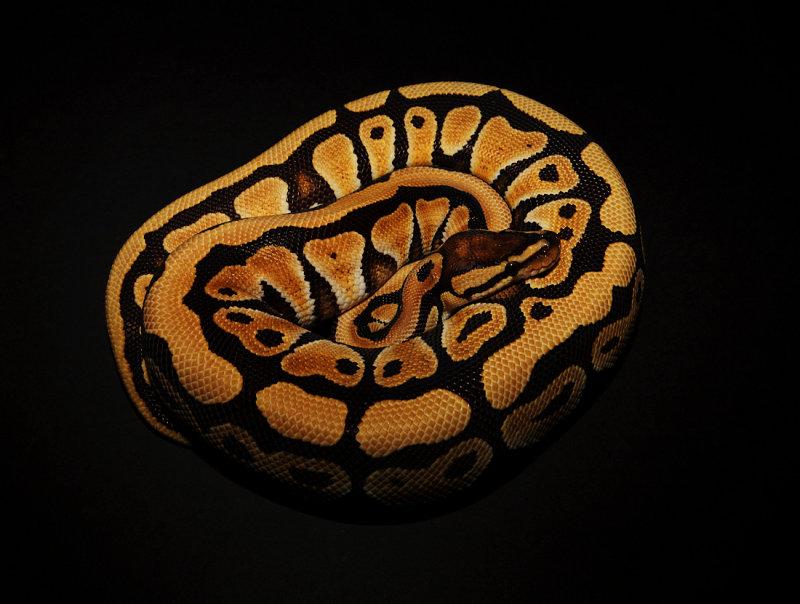 Ball Python (Desert Morph)