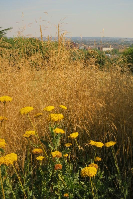 Ragwort  and  hay