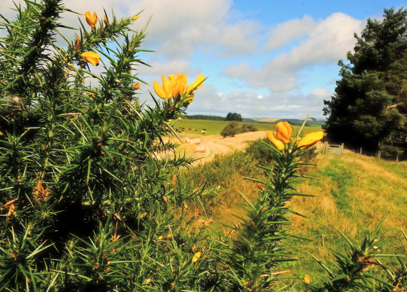 Gorse  in  bloom , on  the  Dyke.