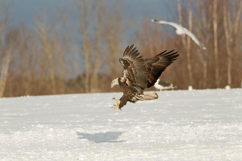 Pygargue à tête blanche --- _E5H8629 --- Bald Eagle