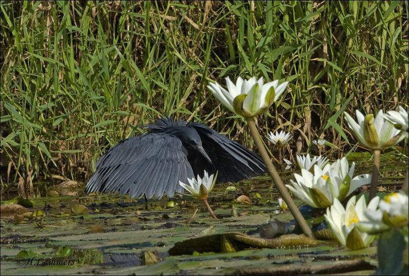 Black Egret - Zwarte Reiger