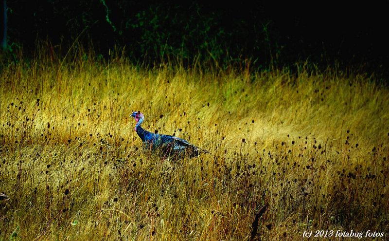 Turkey In The Straw (Grass)