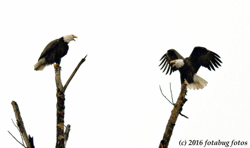 Bald Eagle Talk