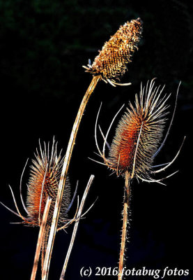Teasel, Old World Prickly Herb