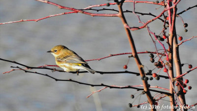 Yellow-Rumped Warbler Female