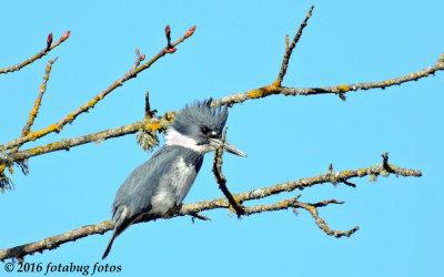 Beautiful Belted Kingfisher