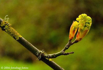 Big Leaf Maple Bud