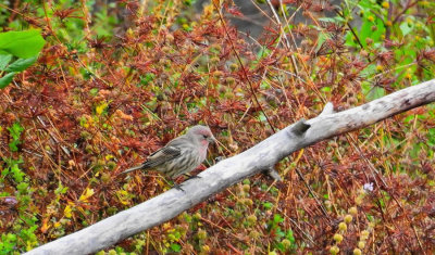 The Secret of Male House Finch Coloration Exposed