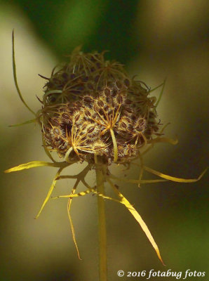 Amazing!  Wild Fennel Seed Pod
