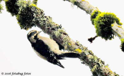 Downy Woodpecker, Always Moving!