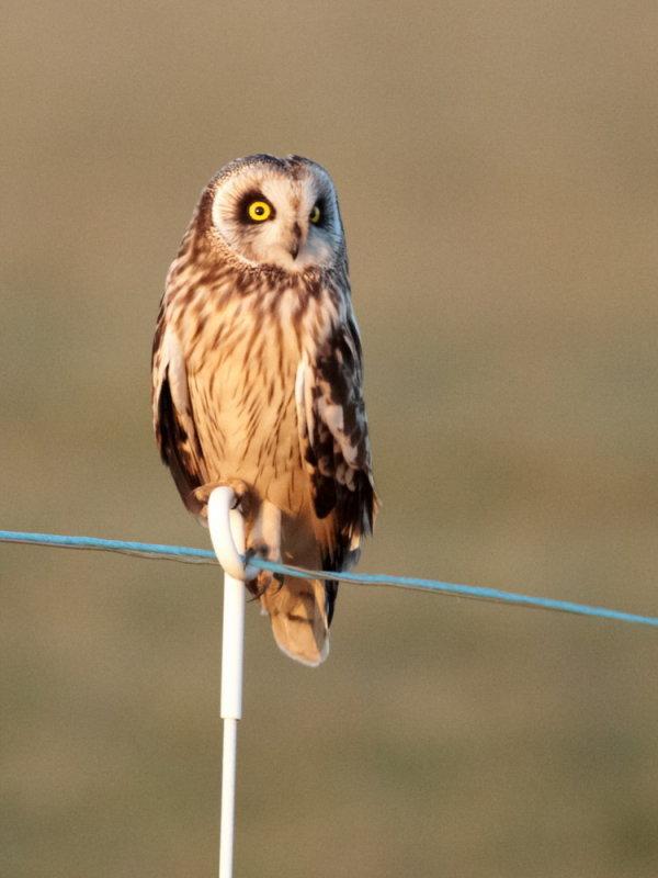 Short-eared Owl / Mosehornugle, CR6F2952, 17-02-2014.jpg