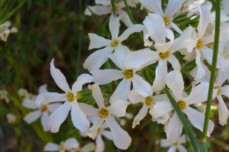 Desert Phlox - Phlox tenuifolia