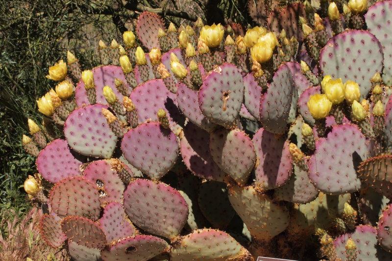 Santa Rita Prickly Pear
