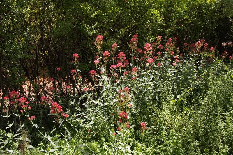 Red Valerian in the Herb Garden