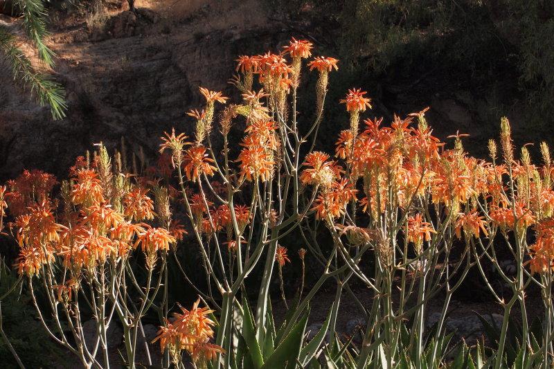 Aloe striata x maculata